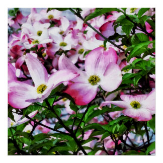 Poster Fleurs roses de cornouiller