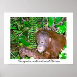 Poster Forêt tropicale de l'Indonésie d'orang-outan