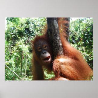 Poster Forêt tropicale du Bornéo de pignon d'orang-outan
