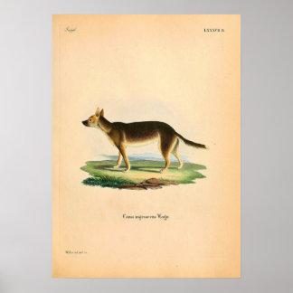 Poster Fox indigène - L'Australie - illustration Circa