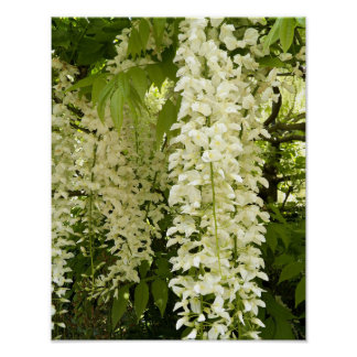 Poster Glycines blanches florales