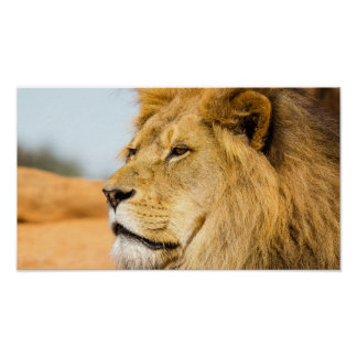 Poster Grand lion regardant loin