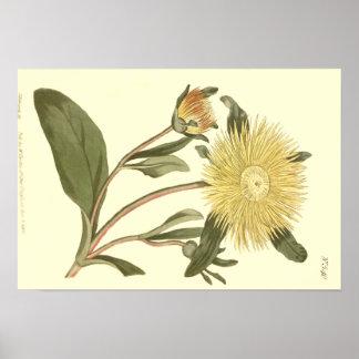 Poster Grande illustration jaune de souci de figue