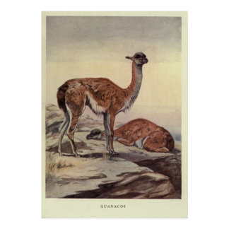 Poster Guanacos vintages Painting (1909)