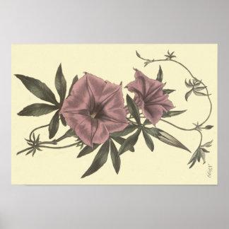 Poster Illustration botanique de liseron égyptien