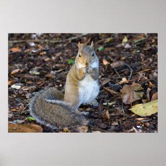Poster Jeune écureuil femelle ayant l'affiche de petit