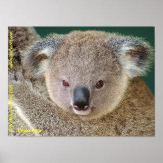 Poster Koala australien
