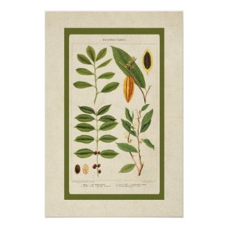 Poster La boisson botanique antique de café plante le
