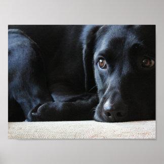 Poster Labrador noir