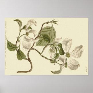 Poster Le cornouiller blanc fleurit l'illustration