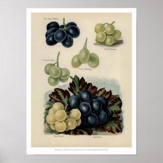 Poster Le cru porte des fruits illustration - raisin