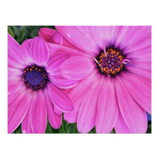 Poster Le rose fleurit la marguerite de Gerbera florale