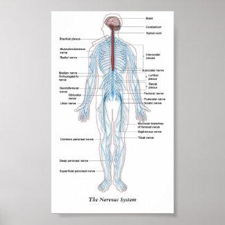 Poster Le système nerveux