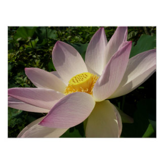 Poster L'eau élégante de la fleur de Lotus III rose