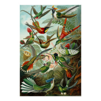 Poster Les colibris d'Ernst Haeckel