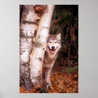 Poster Loup gris derrière un arbre