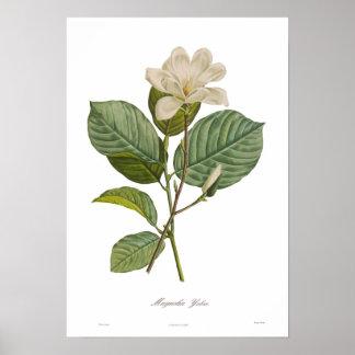 Poster Magnolia yulan