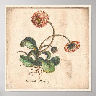 Poster Marguerite botanique antique de double d'affiche
