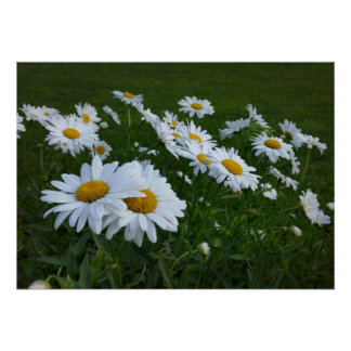 Poster marguerites blanches