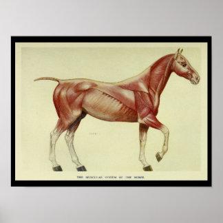 Poster Muscles vintages de la copie d'anatomie de cheval