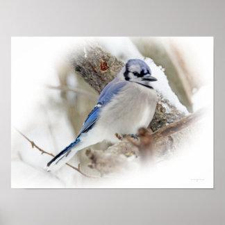 Poster Oiseau chanteur de geai bleu dans la neige