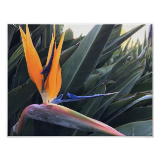 Poster Oiseaux d'affiche de paradis