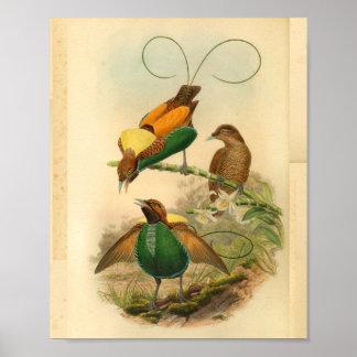 Poster Oiseaux de copie vintage de vert jaune de paradis