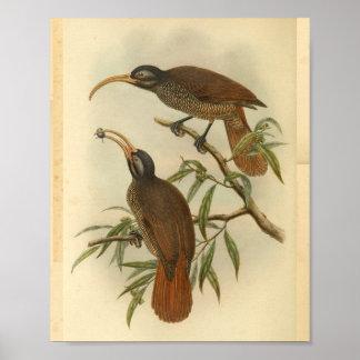 Poster Oiseaux de copie vintage noire de Brown de paradis