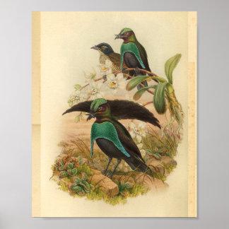 Poster Oiseaux de copie vintage vert-bleu de paradis