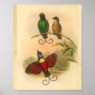 Poster Oiseaux de copie vintage verte rouge de paradis