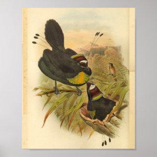 Poster Oiseaux emplumés de copie vintage de paradis