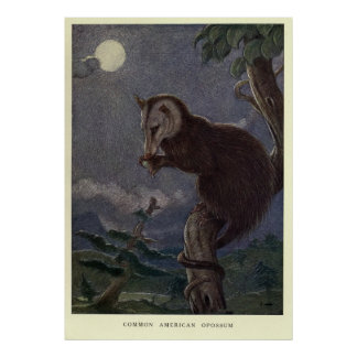 Poster Opossum vintage Painting (1909)