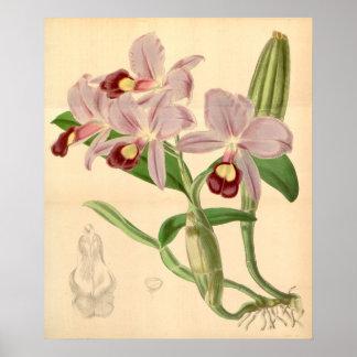Poster Orchidées assez violettes