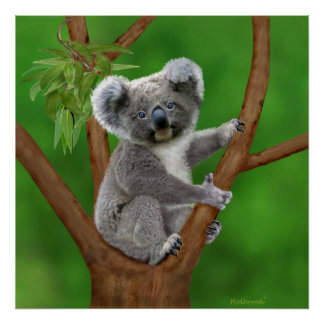 Poster Ours de koala aux yeux bleus de bébé