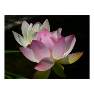 Poster Paires de fleurs de Lotus II
