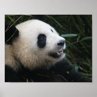 Poster Panda géant en affiche en bambou de forêt