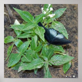 Poster Papillon blanc noir sur le plante