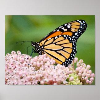 Poster Papillon de monarque sur la fleur de milkweed