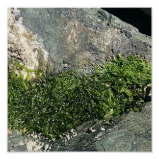 Poster Petite algue sur une roche