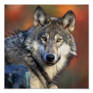 Poster Photographie de loup