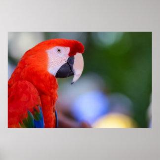 Poster Photographie rouge de perroquet