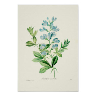 Poster Podalyria australis