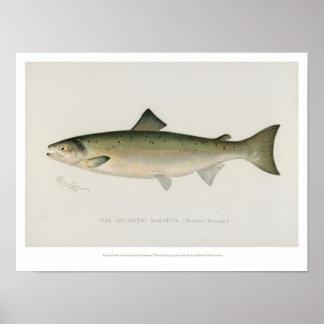 Poster Poissons vintages - saumon atlantique