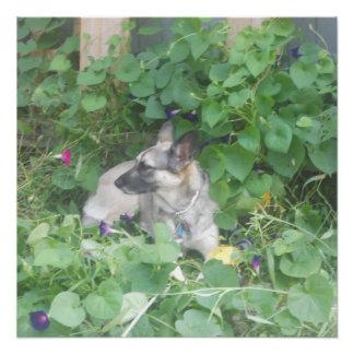 """Poster """"Puddin"""" le berger allemand appréciant la fleur"""