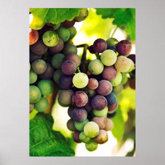 Poster Raisins merveilleux de vigne, automne Sun