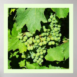 Poster Raisins verts sur la vigne