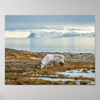 Poster Renne dans l'Arctique