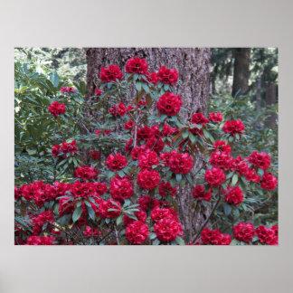 Poster Rhododendrons rouge-foncé floraux
