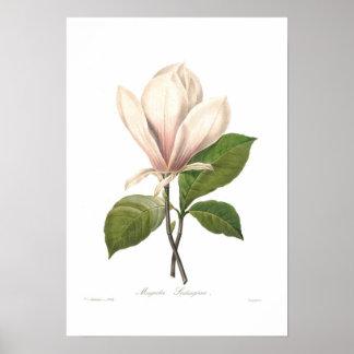 Poster Soulangiana de magnolia