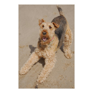 Poster Terrier d'Airedale